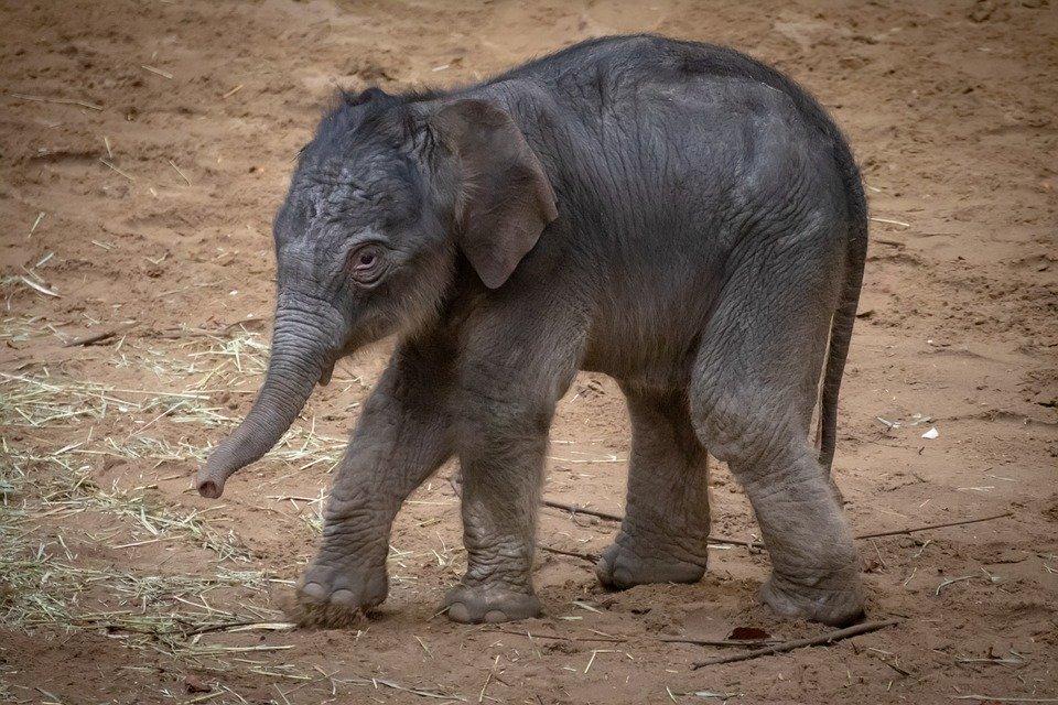 elephant-4020798_960_720