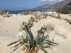 Creta, i gigli di mare a Elafonisi