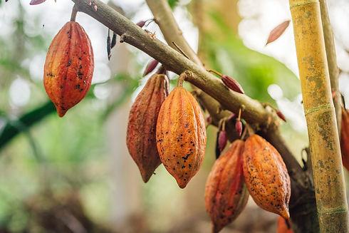 cacao-tree-2048x1366.jpg