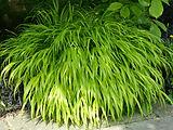 _Hakonechloa macra is a species of flowe