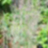 Calamagrostis Overdam.jpg