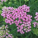 59104352beace-achillea-millefolium-prett