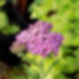 Achillea Summer Pastilles Dark Pink.JPG