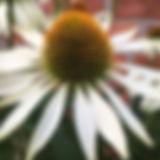 Echinacea 'White swan'....jpe