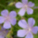 geranium blue cloud.jpg