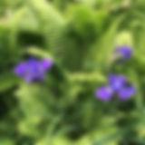 #summer #gardeners #shuttlecockferns #no