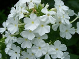 Phlox white.jpg