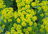 Close up of the yellow flowers of Cypres