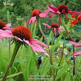 Echinacea pupurea.jpg
