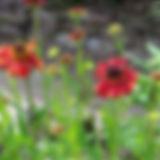 Helenium Moheurn Beauty 1.jpg