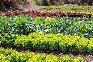 vegetable garden color green texture.jpg