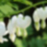 Closeup of white heart shaped flowers (o