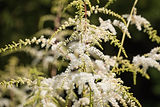 Astilbe thunbergii, known as false goat`