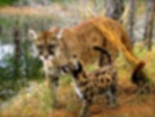 florida_panther_with_cub.jpg