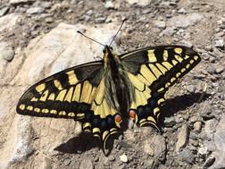 A stunning Swallowtail