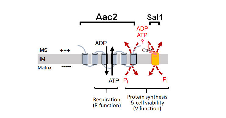 SAL1+AAC2.jpg