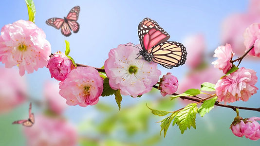11682_Pink-butterfly-on-the-blossom-tree
