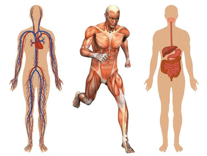 Muskel Gruppen.jpg