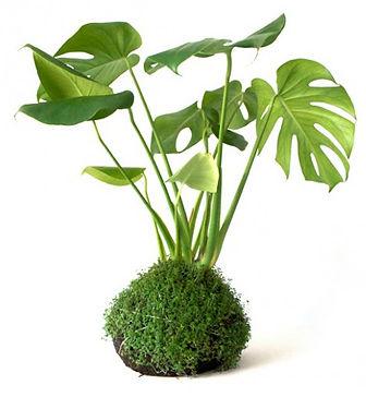 Kokedama, Kokedama Satın Al, teraryum, terrarium, minyatür bahçe, minyaturbahce, bonsai, sukulent, teraryum malzemeleri ankara, teraryum malzemeleri istanbul, teraryum malzemeleri izmir, teraryum istanbul, teraryum malzeme, teraryum için gerekli olanlar, teraryum malzemeleri bursa, amigurumi