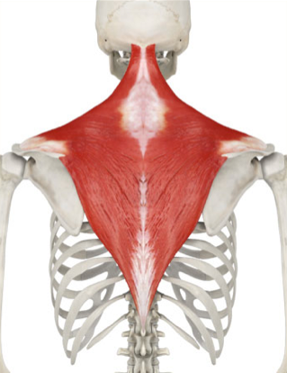 The Monthly Muscle - The Trapezius