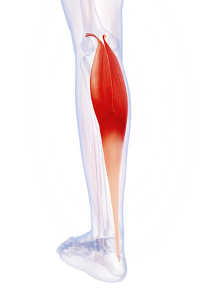The Monthly Muscle - Gastrocnemius (calf muscle)