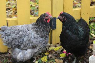 two hens.jpg