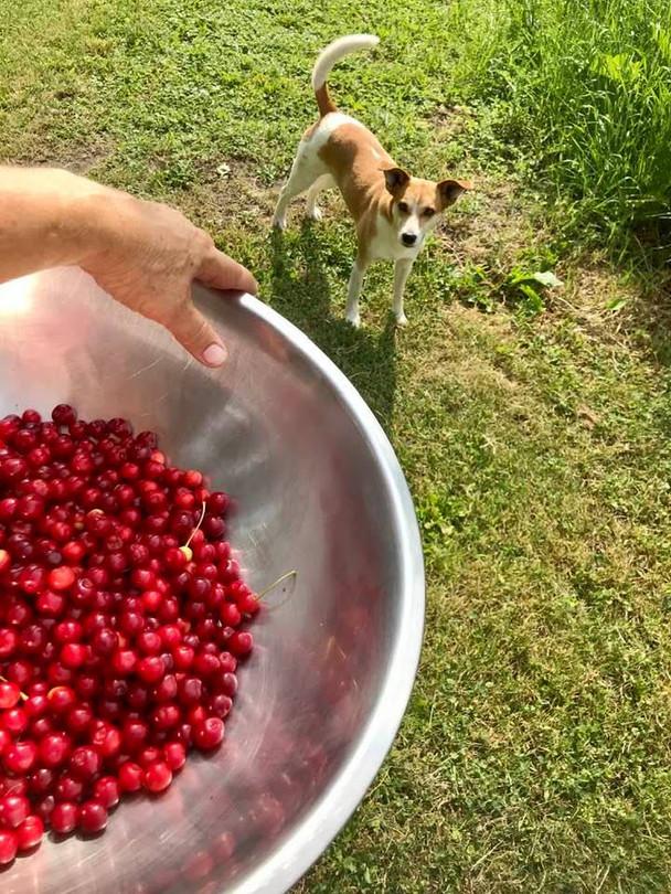 cherry picking moji.jpg
