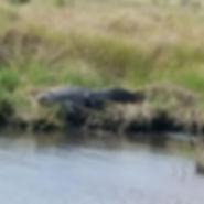 monster gator