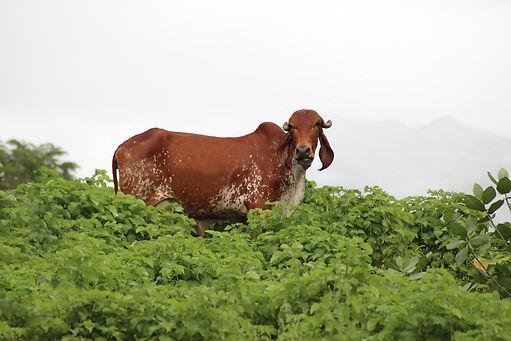A2MILK GIR COW