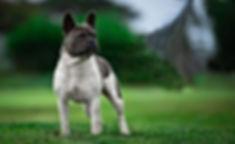 Unique French Bulldog