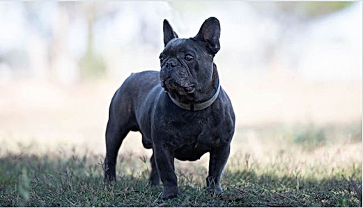 Unique French Bulldog Stud