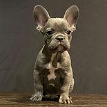 Unique French Bulldog Puppy