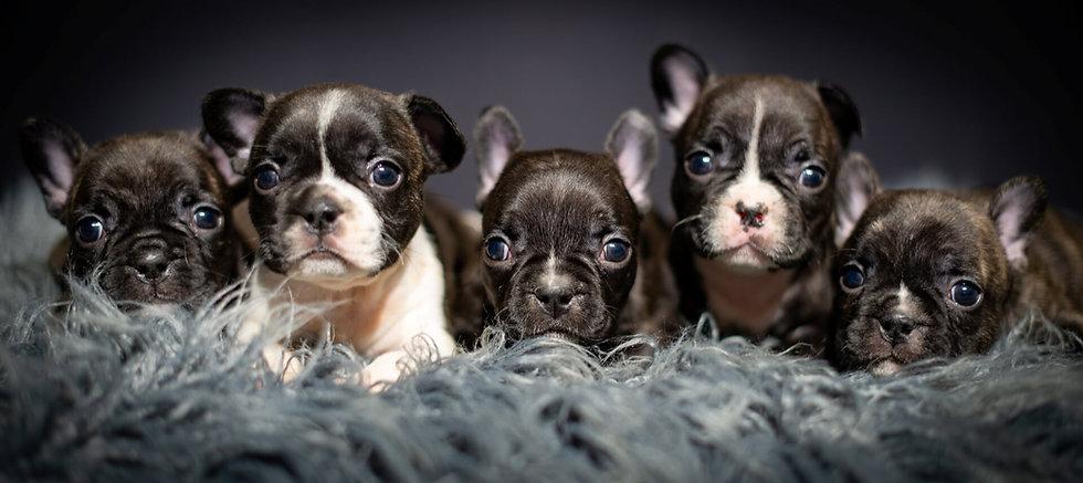 Unique French Bulldog Puppies For Sale