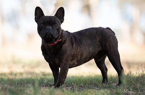 Unique French Bulldog Stud