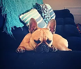 Adopted Unique French Bulldogs