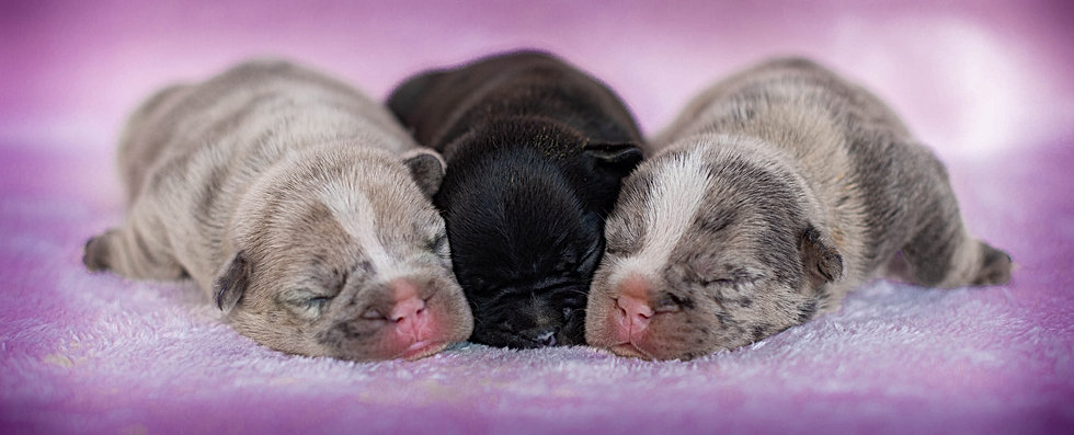 Unique French Bulldog Puppies