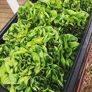 Buttercrunch salad heads