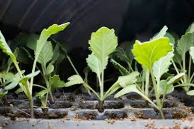 Seedling 6 pack -Kale