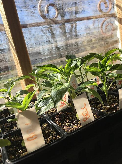 Pepper Seedlings (Sweet)