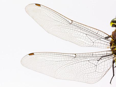 Le conte de la libellule