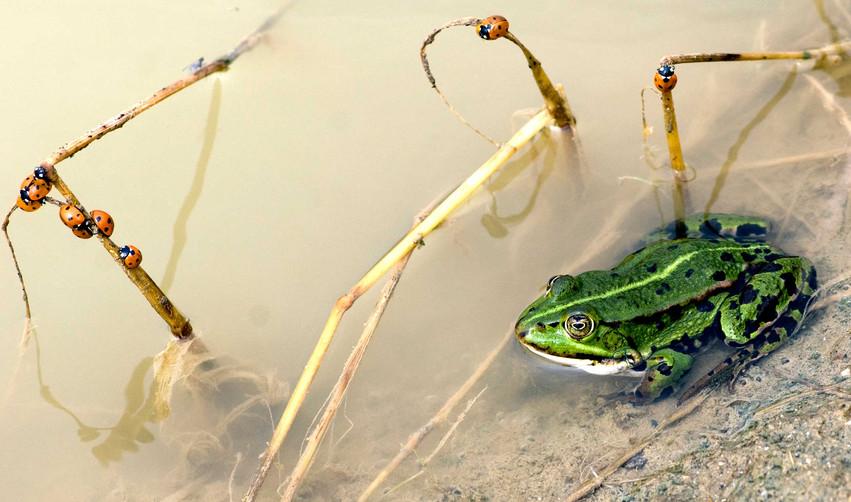 Grøn frø i vandhul ved diget