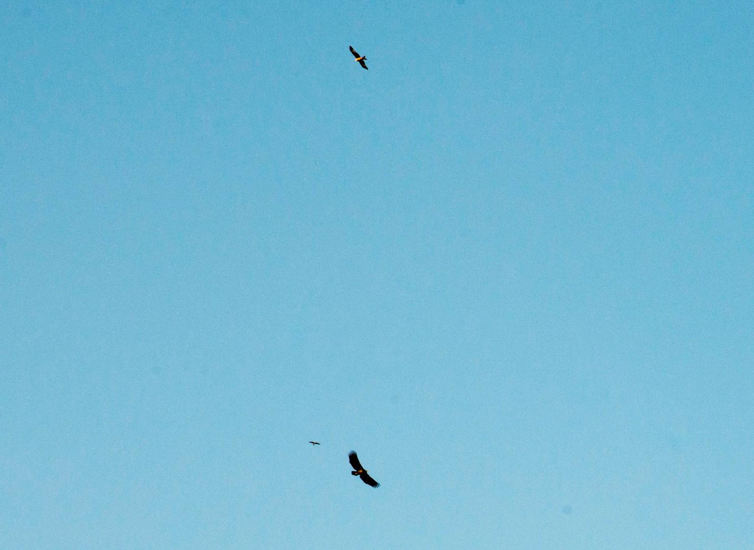 Rovfugle