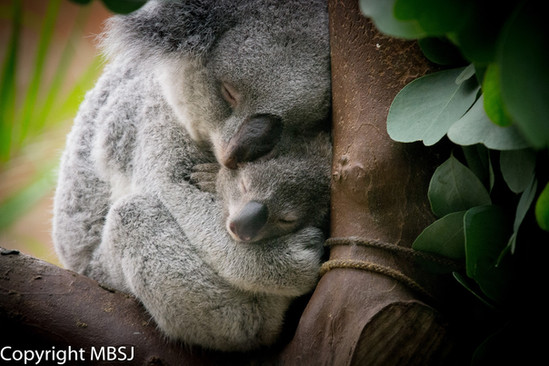 Koalaatjes.jpg