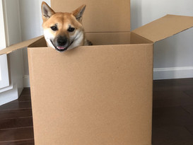 Roscoe in Moving Boxes