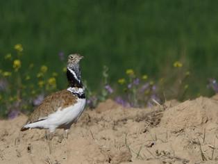 El monocultivo del olivar arrasa con las aves esteparias de la provincia de Jaén