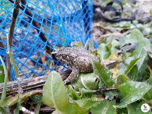Proyecto Libera: nuestra primera charca para anfibios ¡ya tiene inquilinos!