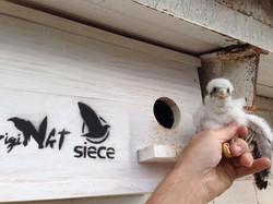 Cernícalo en caja nido SIECE