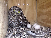 Mochuelo caja nido
