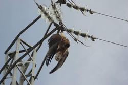 Águila de Bonelli electrocutada