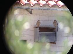 Cernícalos en caja nido